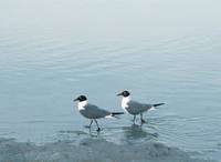 A couple of seagulls out for a stroll on St. Pete Beach. Photographed 5-5-06 by Lary Crews of St. Peterburg FL.